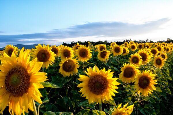 Самые красивые цветы в мире с фото и описанием - Подсолнухи