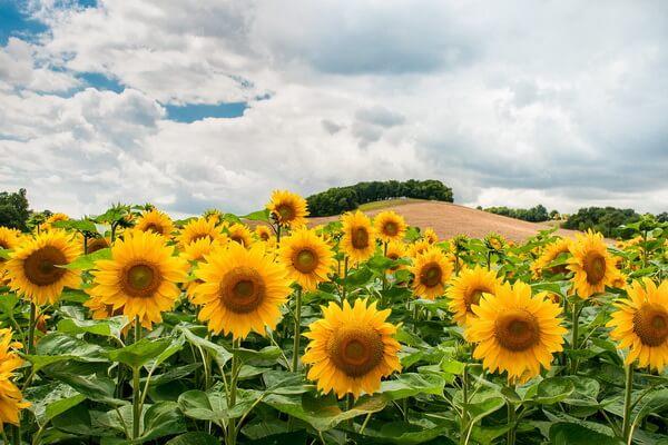 10 самых красивых цветов в мире с фото - Подсолнухи
