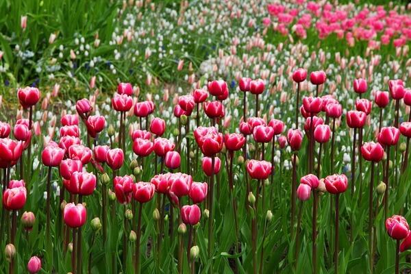 Самые красивые цветы в мире с фото и описанием - Тюльпаны