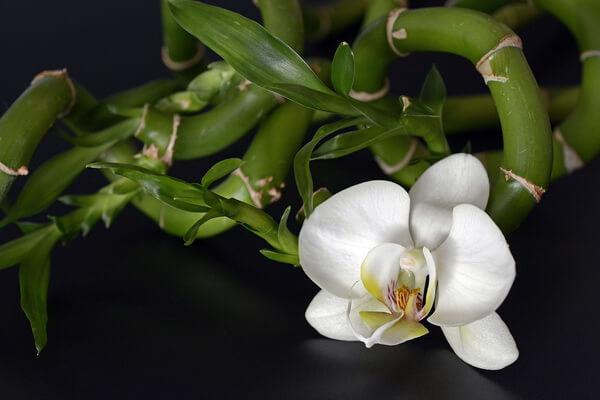 Самые красивые орхидеи с фото и описанием - Бамбуковая орхидея фото