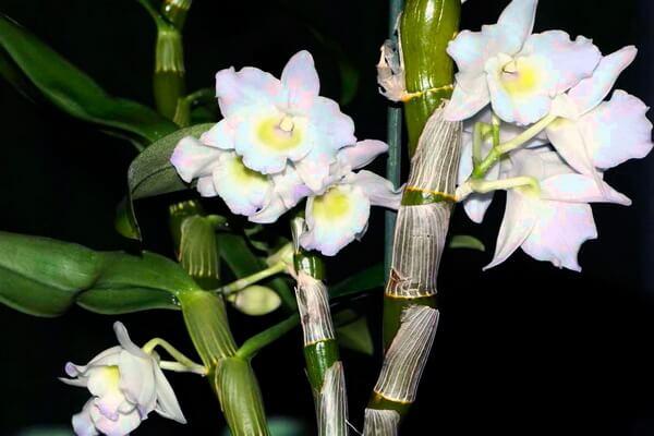 Самые красивые орхидеи с фото и описанием - Бамбуковая орхидея