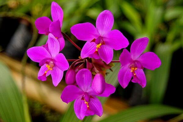 Самые красивые орхидеи с фото и описанием - Spathoglottis Plicata