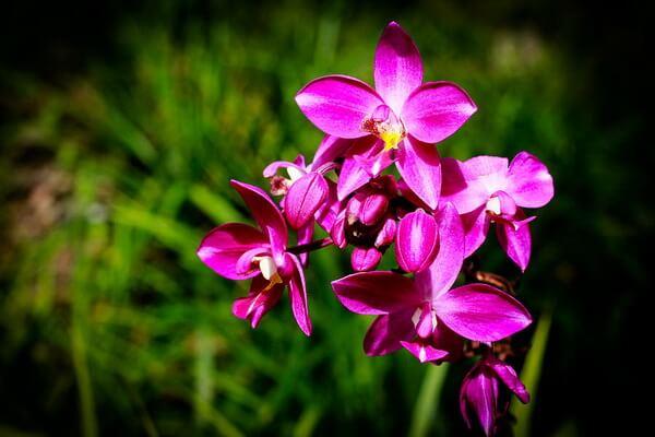 Самые красивые орхидеи с фото и описанием - Филиппинская наземная или крупная пурпурная орхидея (Spathoglottis Plicata)