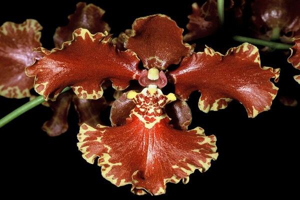 Самые красивые орхидеи в мире - Онцидиум Форбс (Oncidium Forbesii)