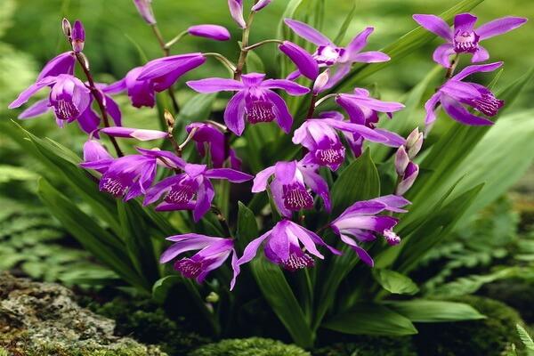 Самые красивые орхидеи с фото и описанием - Блетилла полосатая или гиацинтовая (китайская наземная) орхидея