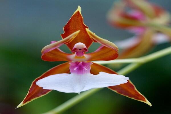 Самые красивые орхидеи с фото и описанием - Каладения Меланема (Caladenia Melanema) или Орхидея-балерина