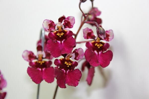 Самые красивые орхидеи с фото и описанием - «Красный Бэрри»