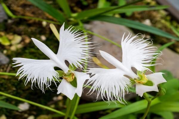Самые красивые орхидеи с фото и описанием - Поводник лучистый (орхидея-мотылёк, «Парящий голубь» или «Белая цапля»)