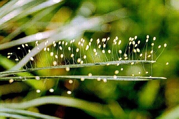 Фото самых редких цветов - Ютан Полуо или цветок Удумбара