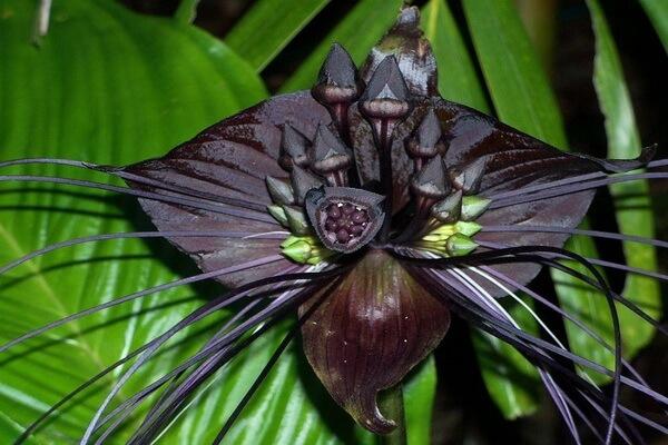 Фото самых редких цветов - Такка Шантрье или Чёрная лилия Летучая мышь