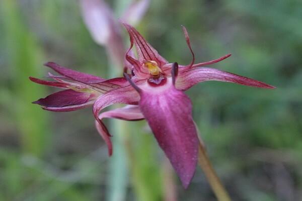Самые редкие орхидеи с фото и описанием - Серапиас сошниковый/язычковый (Serapias stenopetala)