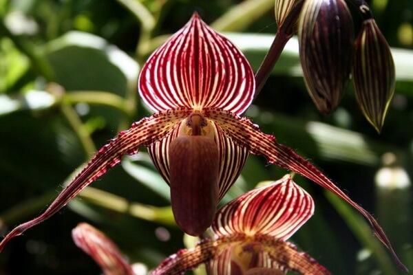 Самые редкие орхидеи с фото и описанием - Орхидея Ротшильда или «Золото Кинабалу»
