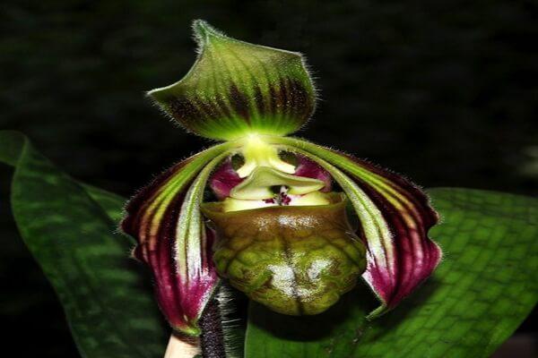 Самые редкие орхидеи с фото и описанием - Башмачок Санги