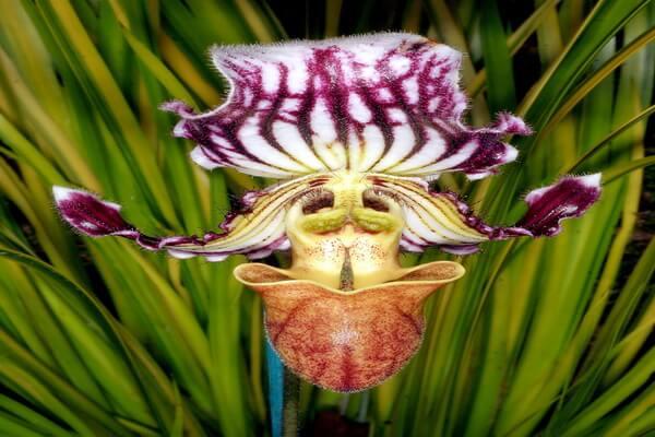 Самые редкие орхидеи с фото и описанием - Пафиопедилум или башмачок Фэйрри