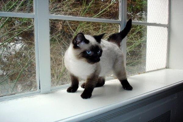 Сиамская кошка родом из Таиланда