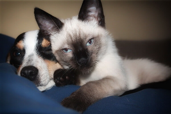 Симаская кошка - красивые фото