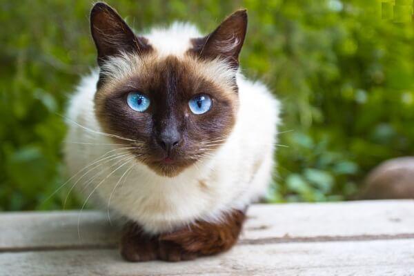 Сиамская кошка как домашний питомец - что стоит учитывать