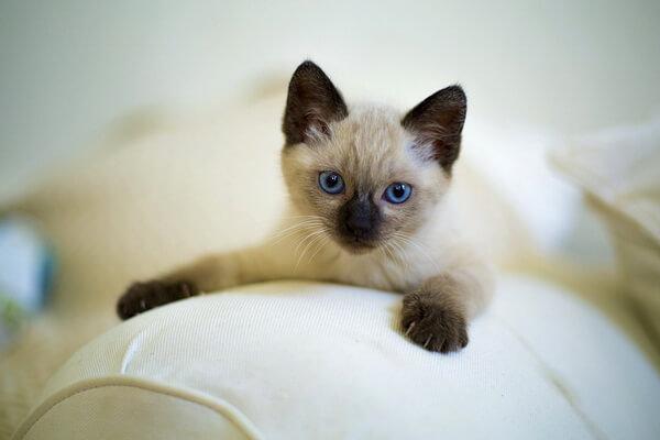 Сиамская кошка очень ревнива