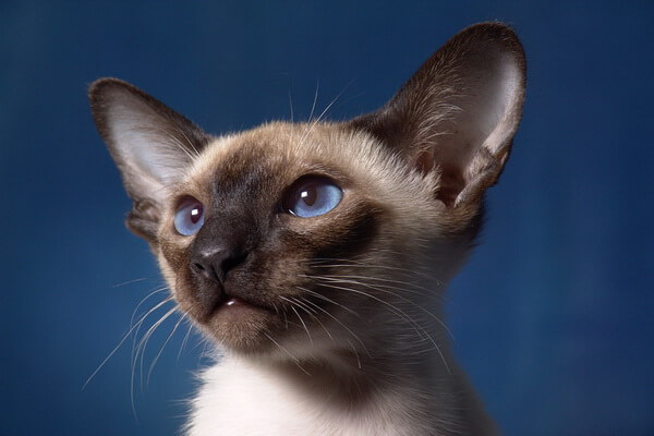 Сиамская кошка - домашний питомец с характером