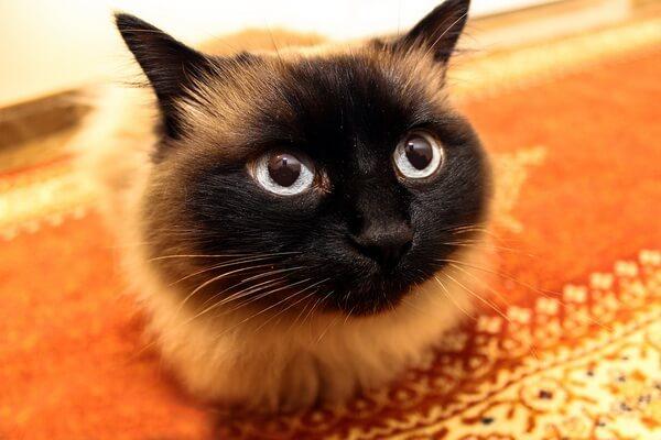 Красивые фото сиамской кошки
