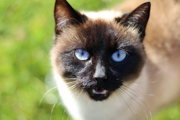 Сиамская кошка - описание характера породы