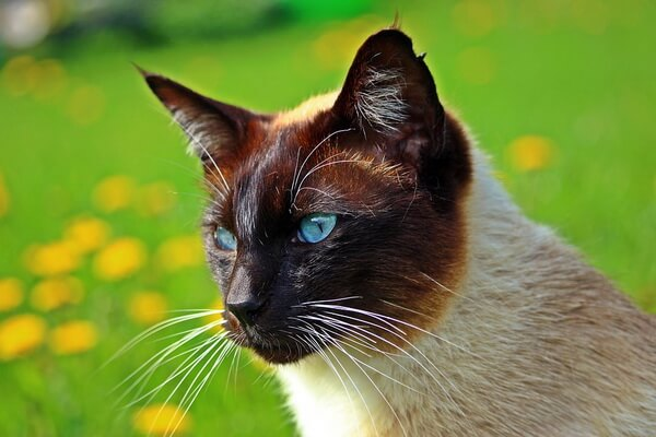 Сиамская кошка - фото и описание характера породы