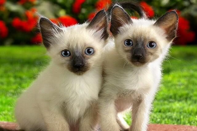 Сиамская кошка - фото и описание характера