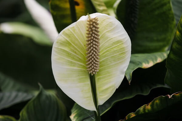 Цветы-талисманы на любовь - Спатифиллум