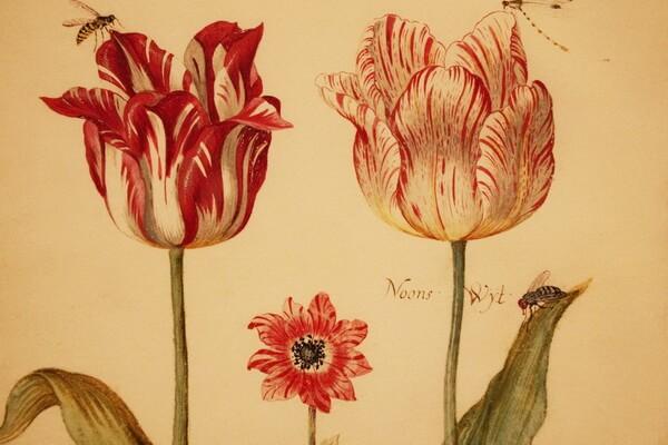 Тюльпаны в живописи - Яков Маррель «Жизнь с тюльпаном и анемоном»