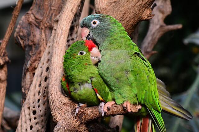 Виды попугаев-неразлучников - фото, названия, описание