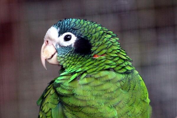 Виды попугаев для домашнего содержания - Амазон