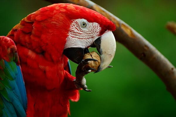 Виды попугаев для домашнего содержания - Ара