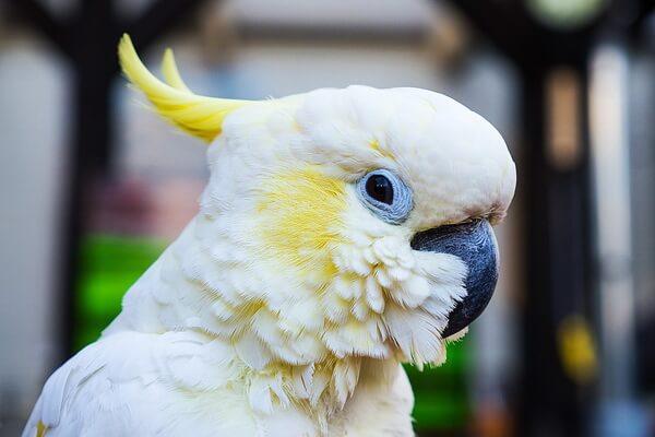 Виды попугаев для домашнего содержания - Какаду