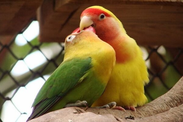 Виды попугаев для домашнего содержания - Неразлучники