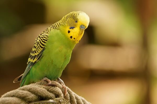 Виды попугаев для домашнего содержания - Волнистый попугай