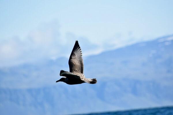 Животные и птицы Антарктиды с фото и описанием - Южнополярный поморник