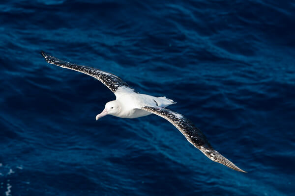 Животные и птицы Антарктиды с фото и описанием - Странствующий альбатрос