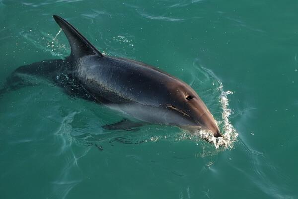 Животные и птицы Антарктиды с фото и описанием - Тёмный или вертящийся дельфин