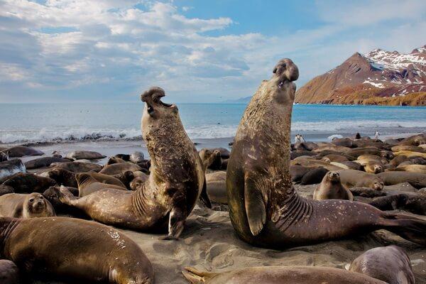 Животные и птицы Антарктиды с фото и описанием - Морские слоны