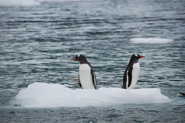 Животные и птицы Антарктиды с фото и описанием - Антарктический пингвин
