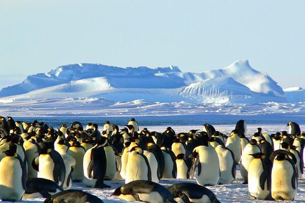 Животные и птицы Антарктиды с фото и описанием - Животные и птицы Антарктиды с фото и описанием - Императорский пингвин